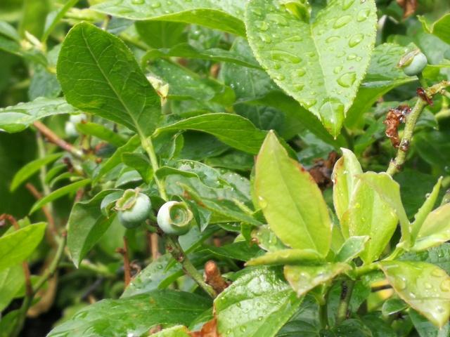 L'odeur des petits fruitsbleus